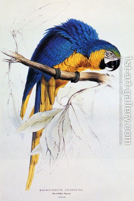 Blue And Yellow Macaw by Edward Lear - Reproduction Oil Painting