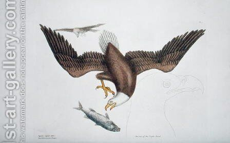 Aquila capite albo (White headed eagle or Bald eagle) plate 1 from Vol 1 of 'Natural History of Carolina, Florida and the Bahamas' by Mark Catesby - Reproduction Oil Painting