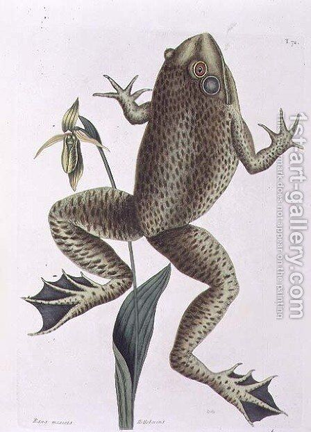 Rana maxima (Bull Frog) plate 72 from Vol 2 of 'Natural History of Carolina, Florida and the Bahamas', 1771 by Mark Catesby - Reproduction Oil Painting