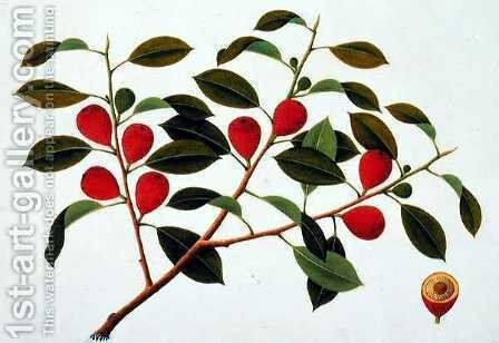 Booa Ara, inedible wild fruit, from 'Drawings of Plants from Malacca', c.1805-18 by Anonymous Artist - Reproduction Oil Painting