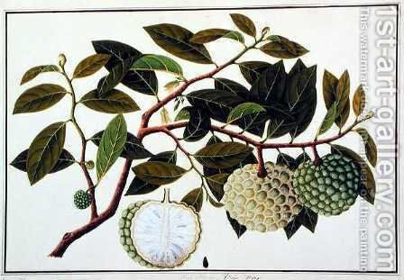 Bua Nora, from 'Drawings of Plants from Malacca', c.1805-18 by Anonymous Artist - Reproduction Oil Painting