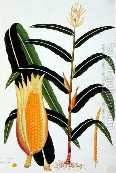 Jagong or Indian Corn, from 'Drawings of Plants from Malacca', c.1805-18 by Anonymous Artist - Reproduction Oil Painting
