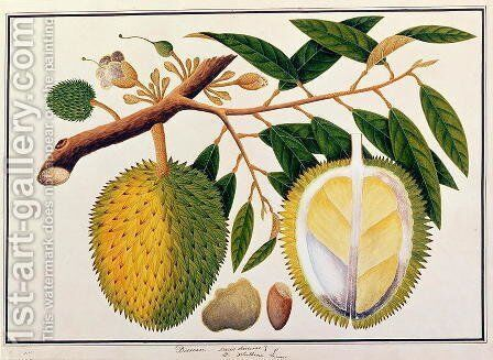 Doorean or Durio Hercorae, from 'Drawings of Plants from Malacca', c.1805-18 by Anonymous Artist - Reproduction Oil Painting