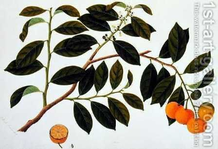 Limo Manies China or Chinese Oranges, from 'Drawings of Plants from Malacca', c.1805-18 by Anonymous Artist - Reproduction Oil Painting