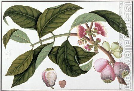 Eugenia or Jamboo Teloie poote, from 'Drawings of Plants from Malacca', c.1805-18 by Anonymous Artist - Reproduction Oil Painting
