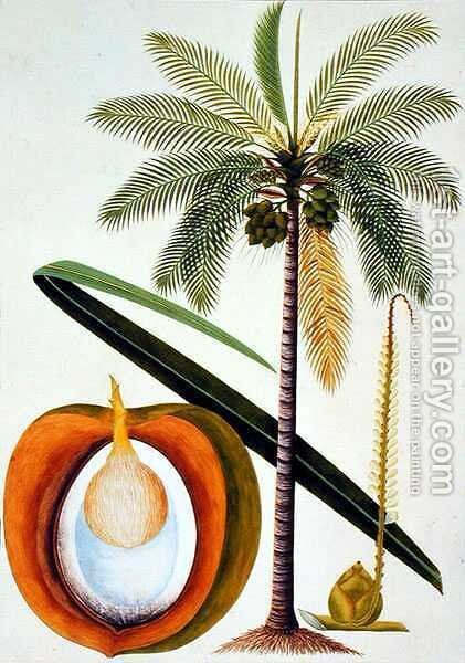 Cocoa Nut Tree, from 'Drawings of Plants from Malacca', c.1805-18 by Anonymous Artist - Reproduction Oil Painting