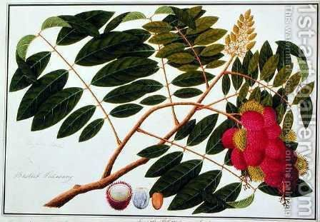 Sangole latong, from 'Drawings of Plants from Malacca', c.1805-18 by Anonymous Artist - Reproduction Oil Painting