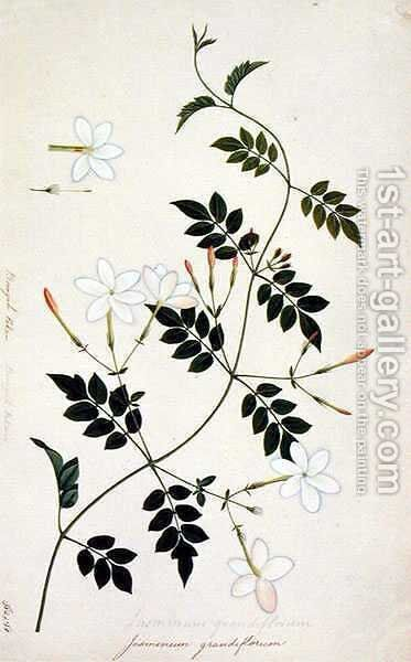 Jasminium grandiflorum, from 'Drawings of Plants from Malacca', c.1805-18 by Anonymous Artist - Reproduction Oil Painting