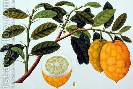 Limo Soe Sooe, Atrong or Citrus Medica, from 'Drawings of Plants from Malacca', c.1805-18 by Anonymous Artist - Reproduction Oil Painting