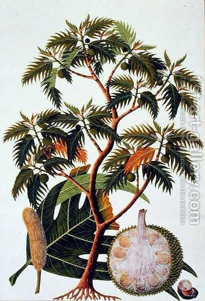 Sookong (Bread Fruit) and Artocarpus Incisa (Lin) from 'Drawings of Plants from Malacca', c.1805-18 by Anonymous Artist - Reproduction Oil Painting