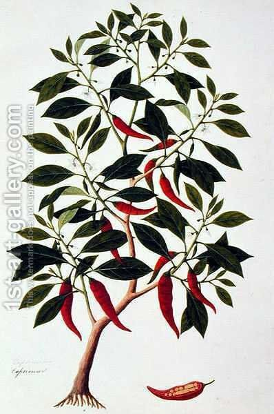 Chilly or Capsicum, 'Drawings of Plants from Malacca', c.1805-18 by Anonymous Artist - Reproduction Oil Painting
