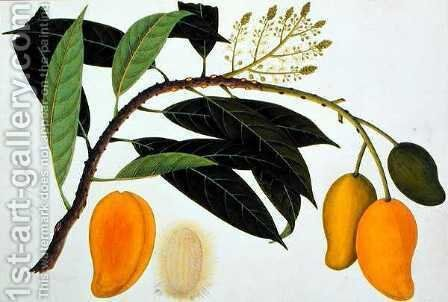 Mango Bodol, from 'Drawings of Plants from Malacca', c.1805-18 by Anonymous Artist - Reproduction Oil Painting