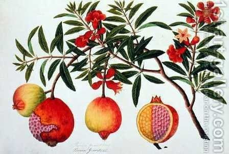 Bua Klitchie or Caesalpinia bonduccella, from 'Drawings of Plants from Malacca', c.1805-18 by Anonymous Artist - Reproduction Oil Painting