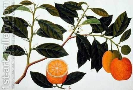 Lemomanies Macao-Macao Oranges, from 'Drawings of Plants from Malacca', c.1805-18 by Anonymous Artist - Reproduction Oil Painting