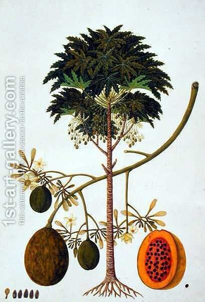 Dapai-ah Tambay or Carica, from 'Drawings of Plants from Malacca', c.1805-18 by Anonymous Artist - Reproduction Oil Painting