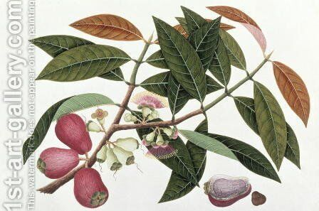 Jamboo Telore mera or Eugenia Malacceusis, from 'Drawings of Plants from Malacca', c.1805-18 by Anonymous Artist - Reproduction Oil Painting
