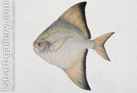 White Pamphlet, Eekan Bawal Pootie, from 'Drawings of Fishes from Malacca', c.1805-18 by Anonymous Artist - Reproduction Oil Painting