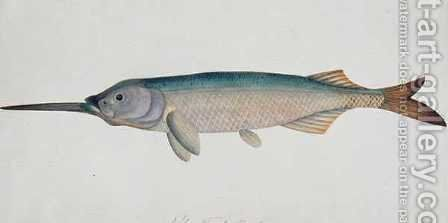 Eekan Todah Pindik, from 'Drawings of Fishes from Malacca', c.1805-18 by Anonymous Artist - Reproduction Oil Painting