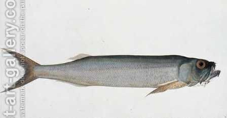 Eekang Parang Parang, from 'Drawings of Fishes from Malacca', c.1805-18 by Anonymous Artist - Reproduction Oil Painting