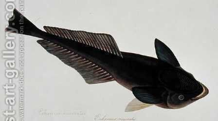 Eekan Gernie, Echeneis neuerates, from 'Drawings of Fishes from Malacca', c.1805-18 by Anonymous Artist - Reproduction Oil Painting