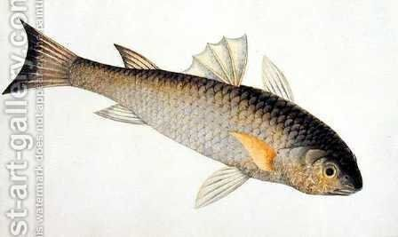 Eekan Siebaroo, from 'Drawings of Fishes from Malacca', c.1805-18 by Anonymous Artist - Reproduction Oil Painting