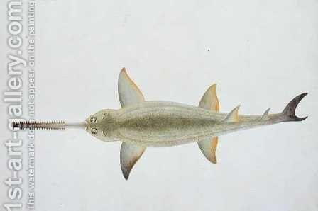 Sword Snouted Shark, Eeu parrang, Squalus poristis, from 'Drawings of Fishes from Malacca', c.1805-18 by Anonymous Artist - Reproduction Oil Painting