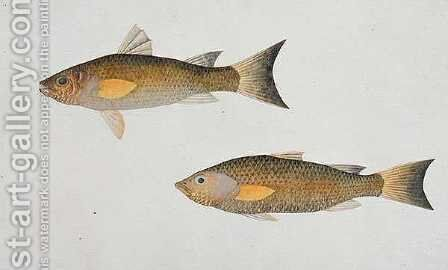Fish with orange fins, from 'Drawings of Fishes from Malacca', c.1805-18 by Anonymous Artist - Reproduction Oil Painting