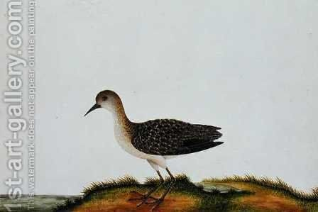 G. Plover Bird, from 'Drawings of Birds from Malacca', c.1805-18 by Anonymous Artist - Reproduction Oil Painting