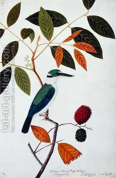Rambay, Boorong Goolatok also Boorong Kete Kayoe, from 'Drawings of Birds from Malacca', c.1805-18 by Anonymous Artist - Reproduction Oil Painting