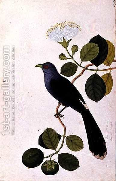 Booah Piedada, Boorong Boobote, from 'Drawings of Birds from Malacca', c.1805-18 by Anonymous Artist - Reproduction Oil Painting