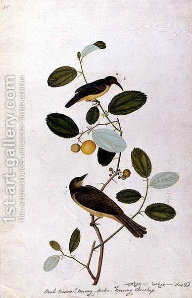 Buah Biedara, Bourong Muba, Bourong Cherchap, from 'Drawings of Birds from Malacca', c.1805-18 by Anonymous Artist - Reproduction Oil Painting