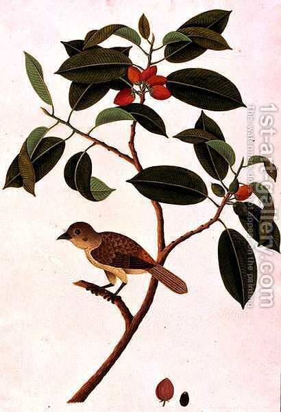 Boorong Siearas, from 'Drawings of Birds from Malacca', c.1805-18 by Anonymous Artist - Reproduction Oil Painting