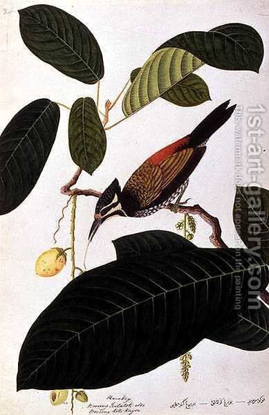 Poolasan, Boorong Radja Oolang, from 'Drawings of Birds from Malacca', c.1805-18 by Anonymous Artist - Reproduction Oil Painting