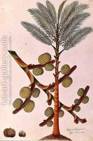 Sago, from 'Drawings of Plants from Malacca', c.1805-18 by Anonymous Artist - Reproduction Oil Painting