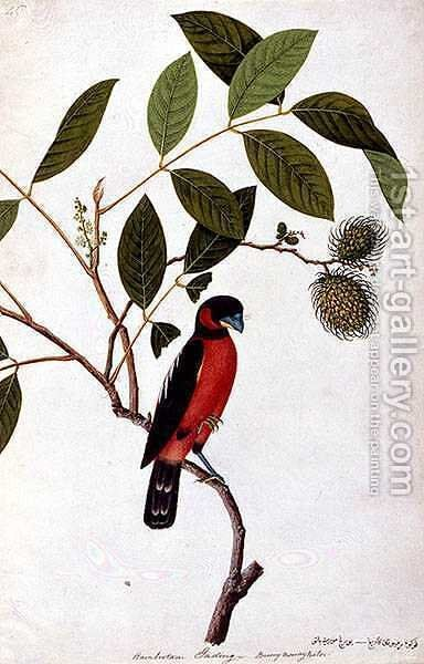 Rainbootani Gading, Boorong Mooray Batou, from 'Drawings of Birds from Malacca', c.1805-18 by Anonymous Artist - Reproduction Oil Painting