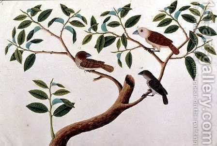 Boorong Rangong, from 'Drawings of Birds from Malacca', c.1805-18 by Anonymous Artist - Reproduction Oil Painting