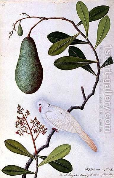 Java Dove or Boorah Poutaran, from 'Drawings of Birds from Malacca', c.1805-18 by Anonymous Artist - Reproduction Oil Painting