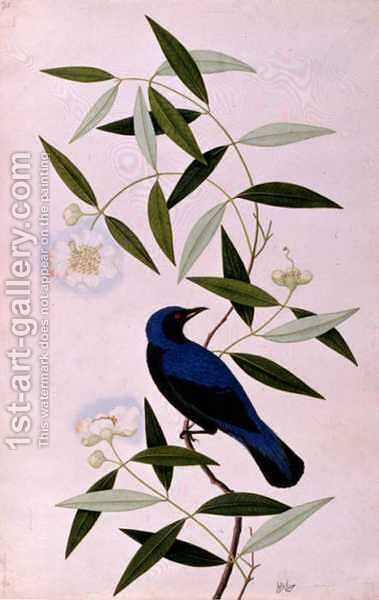 Boorah Farleeh, from 'Drawings of Birds from Malacca', c.1805-18 by Anonymous Artist - Reproduction Oil Painting
