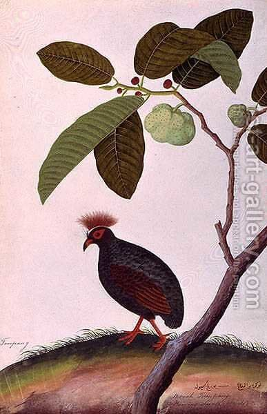 Booah Tumpang, from 'Drawings of Birds from Malacca', c.1805-18 by Anonymous Artist - Reproduction Oil Painting