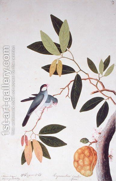 Nam-Nam Boorong Goolalay, Cynometra cauliflora, from 'Drawings of Birds from Malacca', c.1805-18 by Anonymous Artist - Reproduction Oil Painting