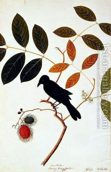 Rambootan, Boorong Perling Jantan, from 'Drawing of Birds from Malacca', c.1805-18 by Anonymous Artist - Reproduction Oil Painting