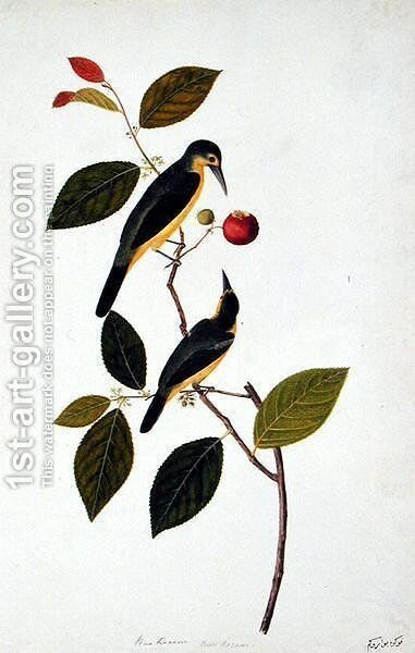 Bua Rocam, from 'Drawings of Birds from Malacca', c.1805-18 by Anonymous Artist - Reproduction Oil Painting