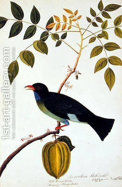 Boorong Teiong Batoo, from 'Drawings of Birds from Malacca', c.1805-18 by Anonymous Artist - Reproduction Oil Painting