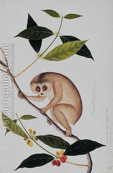 Lemur tardigradus, Booah Kawah (coffee tree) Kong Kang, from 'Drawings of Animals, Insects and Reptiles from Malacca', c.1805-18 by Anonymous Artist - Reproduction Oil Painting
