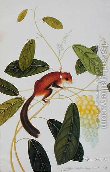Squirrel on a wildgrape tree, Toopay Krawa, Booah angoor Ootan, from 'Drawings of Animals, Insects and Reptiles from Malacca', c.1805-18 by Anonymous Artist - Reproduction Oil Painting