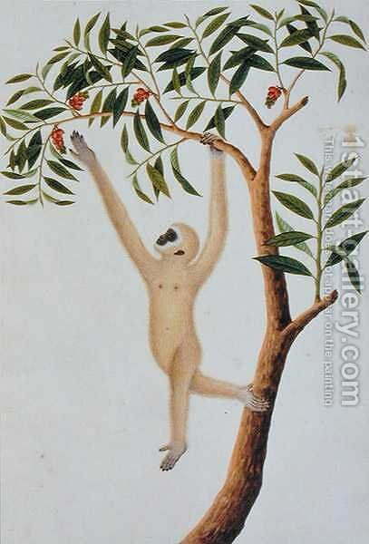 White Long Armed Ape, Ongka Pootre, from 'Drawings of Animals, Insects and Reptiles from Malacca', c.1805-18 by Anonymous Artist - Reproduction Oil Painting