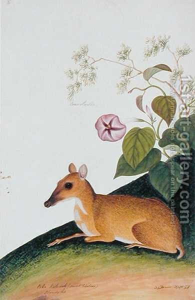 Poko Kelcdik (Sweet Potatoes) Plando ko, from 'Drawings of Animals, Insects and Reptiles from Malacca', c.1805-18 by Anonymous Artist - Reproduction Oil Painting
