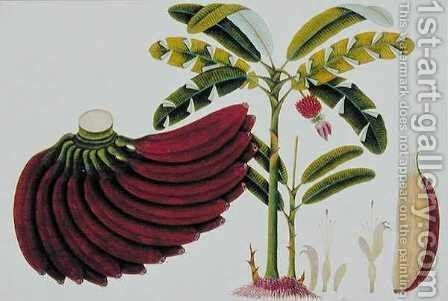 Red Plantain, Pisang oodang, from 'Drawings of Plants from Malacca', c.1805-18 by Anonymous Artist - Reproduction Oil Painting