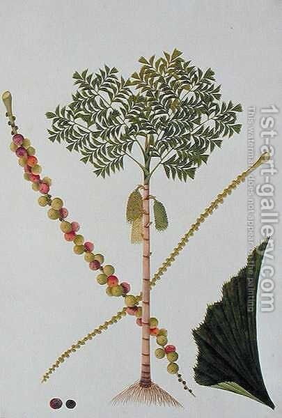 Tookas, Caryota wiens, from 'Drawings of Plants from Malacca', c.1805-18 by Anonymous Artist - Reproduction Oil Painting