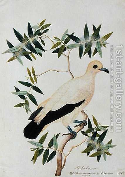 Melabeuca, Poke Glam, Boorong ra-ooah ra-ooah, from 'Drawings of Birds from Malacca', c.1805-18 by Anonymous Artist - Reproduction Oil Painting